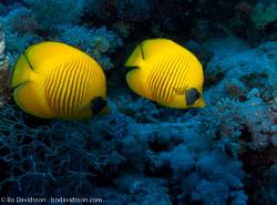 BD-090406-St-Johns-4062690-Chaetodon-semilarvatus.-Cuvier.-1831-[Bluecheek-butterflyfish.-Rödahavsfjärilsfisk].jpg